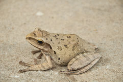 Tree frog tropical animal Stock Photography