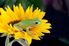 Tree frog waiting on a flower. White-lipped tree frog or Litoria Infrafrenata sitting on a sunflower Stock Image