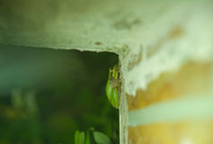 Tree frog on wall Royalty Free Stock Image
