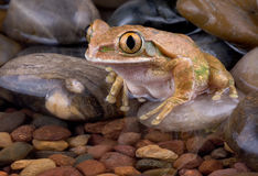 Tree frog at water's edge Royalty Free Stock Image