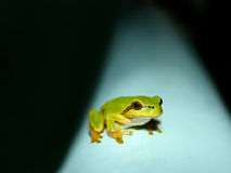 Tree Frog on a water tank Royalty Free Stock Image