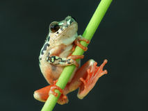 Tree frog with webbed feet Royalty Free Stock Photos