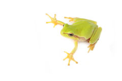 Tree frog on white. Green tree frog  on white background Royalty Free Stock Image