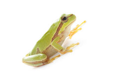 Tree frog on white. Green tree frog  on white background Royalty Free Stock Photography