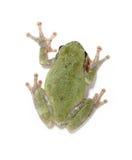 Tree frog on white Stock Photo