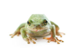 Tree Frog on White Stock Images