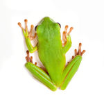 Tree frog on white background. Top view on a white-lipped tree frog or Litoria Infrafrenata isolated on white Royalty Free Stock Photography