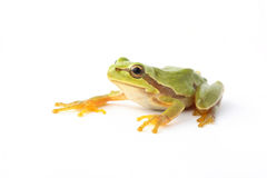 Tree frog white background. Green tree frog  on white background Stock Photography