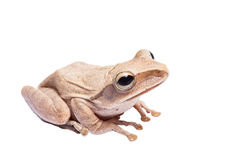 Tree frog. On white background Royalty Free Stock Photo