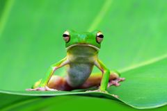 Tree frog, white lipped on green leaves. Whitelipped tree frog sitting on leaves stock images