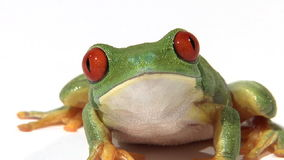 Tree frog on white surface breathing, zoom. Red-eyed green tree frog on white surface breathing, zoom stock video footage