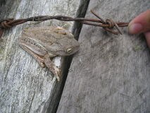 Tree Frog on Wood Stock Image