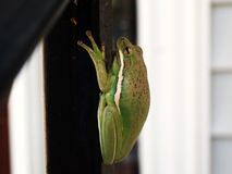 Green Tree Frog on Wooden Rail Royalty Free Stock Photos