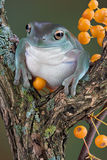Tree frog with yellow berries Royalty Free Stock Photos