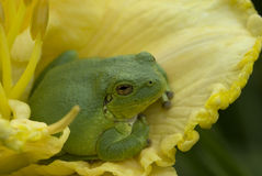 Tree frog on a yellow daylily Royalty Free Stock Photography