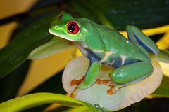 Tree frog on the  yellow orchid petal. Red-eyed tree frog sitting on the  yellow orchid petal, like a queen Stock Image