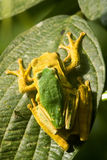 Tree frogs Royalty Free Stock Images