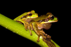 Tree frogs. A couple of tree frogs on a plant in Costa Rica Stock Image