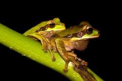 Tree frogs Stock Image