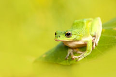 Tree frogs are courting in the forest,Taiwan Royalty Free Stock Photos