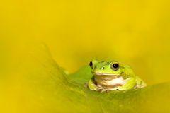 Tree frogs are courting in the forest,Taiwan Stock Images