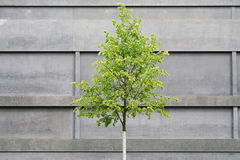 Tree in front of concrete building. Modern architecture versus nature Stock Photography