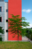 Tree in front of a red feature wall Stock Photography