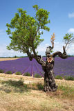 Tree in front of lavender field, Provence, France. Stock Photography