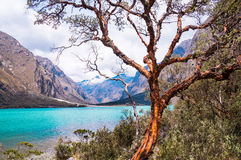 Tree in front of Llanganuco glacier lagoon in Peruvian Andes. Llanganuco lake: An orange-brown tree trunk at a blue glacier lagoon in the Peruvian Andes. Huaraz Royalty Free Stock Photos