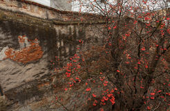 Tree in front of old bricked and plaster wall. Royalty Free Stock Photography