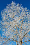 Tree in frost against blue sky Royalty Free Stock Image
