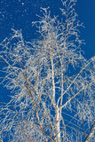 Tree in frost against blue sky Royalty Free Stock Images