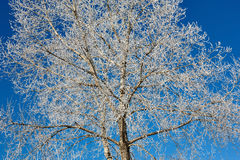 Tree in frost against blue sky Stock Photography