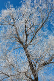 Tree in frost against blue sky Stock Photo