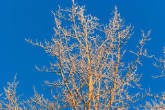 Tree With Frost Royalty Free Stock Photo