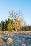 Tree with frost on the ground Royalty Free Stock Image