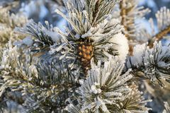 Tree with a frost. Pine cone growing on branches. Needles trees are covered with white ice-freezing, close-up Stock Photos