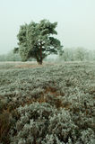 Tree in frosted heather field Stock Photo