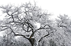 Tree frozen in ice Stock Image
