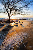 Tree on a frozen red sand beach of the Baltic Sea Stock Photography