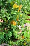 Tree with fruit carambola Stock Photo