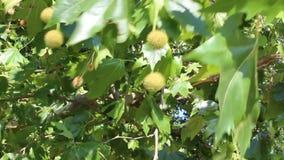 Tree fruit. Image was shot in Burgas Bulgaria stock video footage