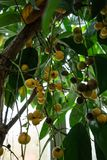 Tree with fruits from birma grape baccaurea ramiflora. From asia Stock Photography