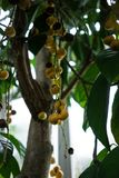 Tree with fruits from birma grape baccaurea ramiflora. From asia Royalty Free Stock Image