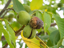 Tree fruits of Juglans regia on the branch. Stock Photos