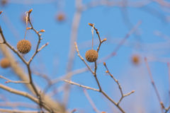 Tree Fruits Platanus Planetree against sky Stock Photos