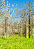 Tree fruits in springtime. Crops of fruit trees in Tuscany in spring, with its flowers and colors Stock Images