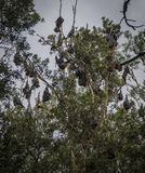 Tree full of bats during the day. Trees in Sydney are full of bats. During the day they can be found in the forest. It is incredible seeing all these animals Stock Image