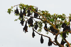 Tree full of bats (flying foxes) Royalty Free Stock Images