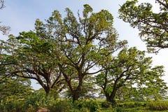 Tree full of bats. Indian flying fox, Tissamaharama, Sri Lanka royalty free stock photos